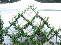 Star Jasmine and rosemary