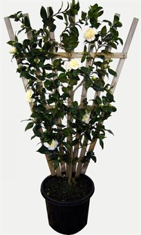 Espalier Camellia Brushfields Yellow